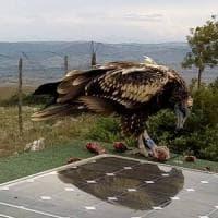 Avvoltoio in migrazione ucciso a fucilate nel Trapanese