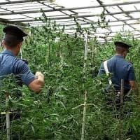 Agrigento, maxi-piantagione di cannabis: arrestata una coppia di agricoltori
