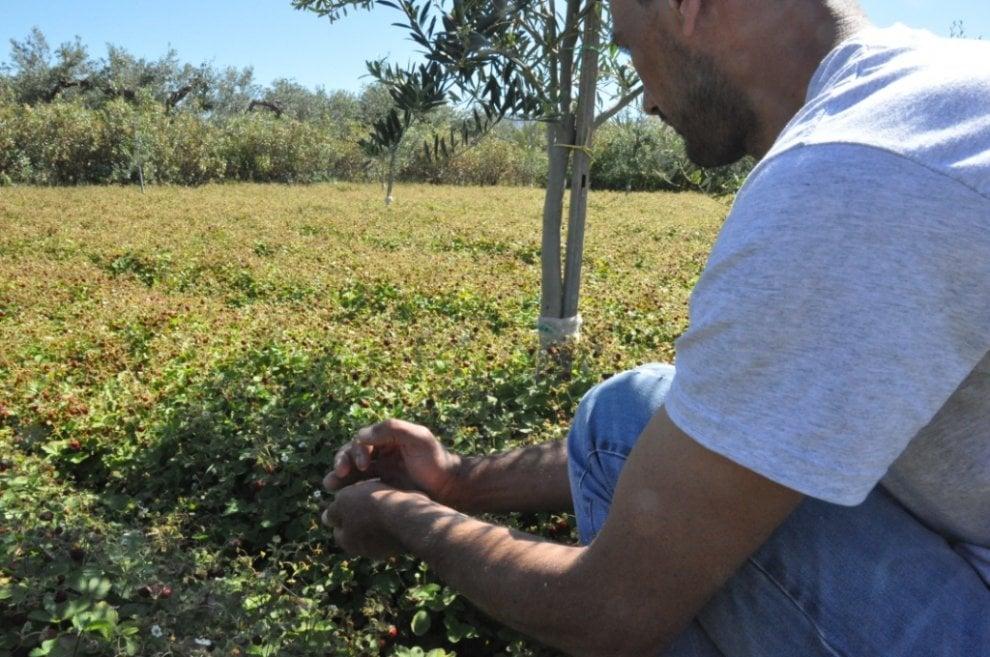 La raccolta delle fragoline a Ribera e Sciacca