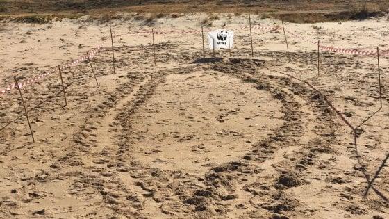 Trapani, la caretta caretta nidifica sulla spiaggia di Triscina