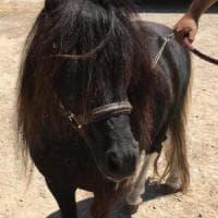 Palermo, pony trovato da polizia municipale si cerca il proprietario