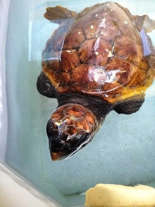 Ragusa, operata una tartaruga senza pinne anteriori: aveva ingerito un amo da pesca