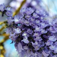 Maggio, Palermo si riempie di lilla, nei viali le Jacarande in fiore