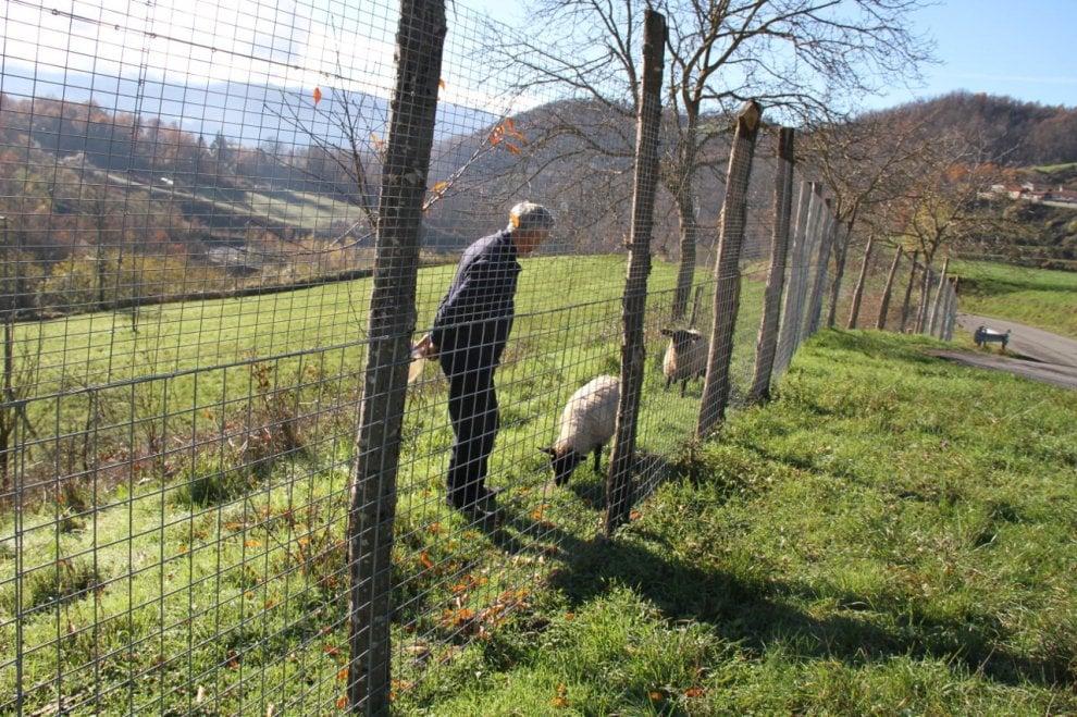 Il veterinario, le pecore e i lupi