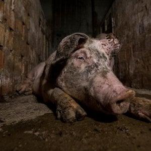 Video shock su allevamento maiali per Prosciutto di Parma