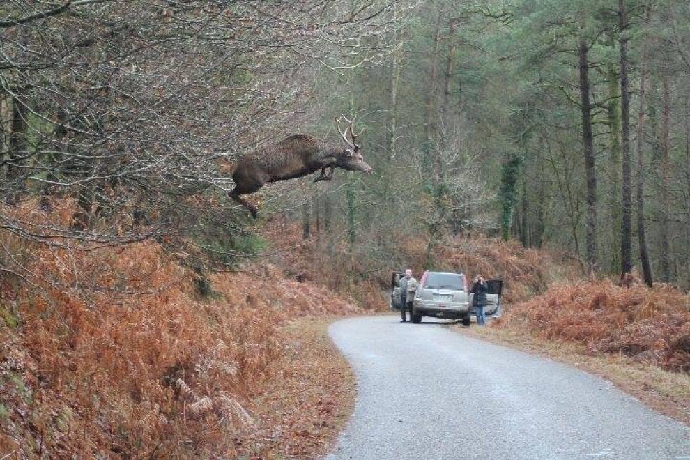 Berceto, lo spettacolare salto del cervo ma il sindaco prende la foto in Rete