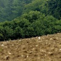 La pianta di fico più antica d'Italia: da Parma al cuore della biodiversità