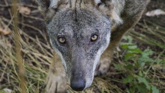 Appennino parmense, un progetto dal basso per studiare il lupo