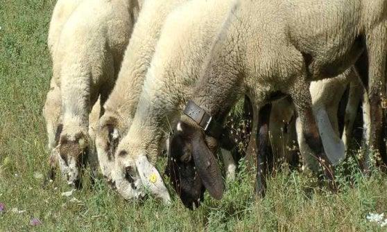 Lamon, Valgrisenche e Corniglio: nasce il gemellaggio delle tre pecore