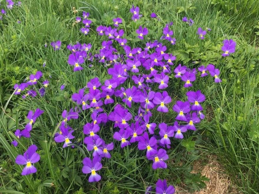 Parma, lo spettacolo delle fioriture lungo l'Alta via dei parchi - Foto
