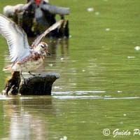 Uccello migra dalla tundra alla Bassa parmense. Lipu: