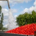 Pomodoro, a Parma sos dei coltivatori: