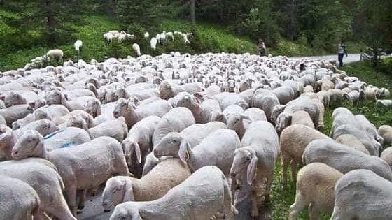 Parma, un furto d'altri tempi: rubati 120 ovini
