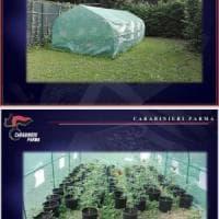 I carabinieri scoprono una serra di marijuana in via Langhirano