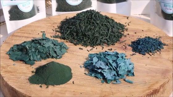 Alga Spirulina, a Fidenza si coltiva il superfood