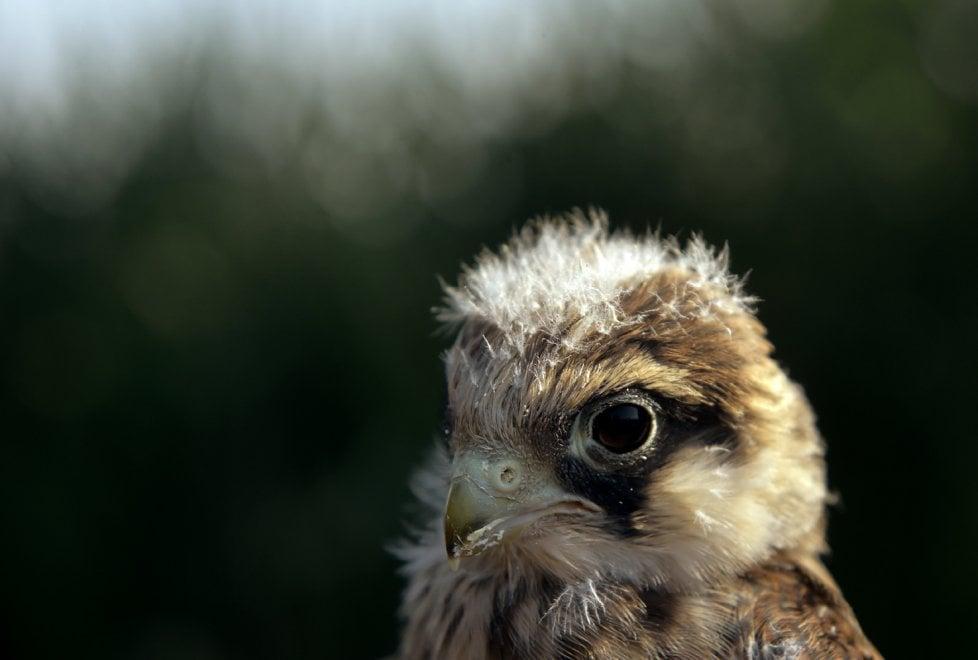 Falco cuculo, è nella Bassa parmense la colonia più grande - Foto