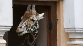 Nascono licaoni e giraffine ma il Bioparco resta uno zoo       di MARGHERITA D'AMICO