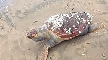 Tartaruga spiaggiata a Terracina  Ft