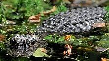 La nuova area  per gli alligatori cinesi