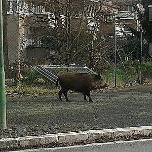 """Trionfale, cinghiali sui marciapiedi"""