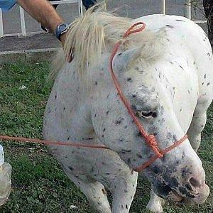 Tuscolana, pony legato a un guardrail e abbandonato