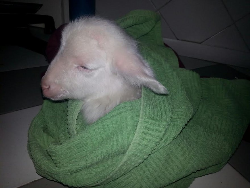 Roma, storia di Lamberto: l'agnellino salvato dal mattatoio