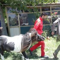 Roma, pony scivola nel Tevere: salvato dai sommozzatori