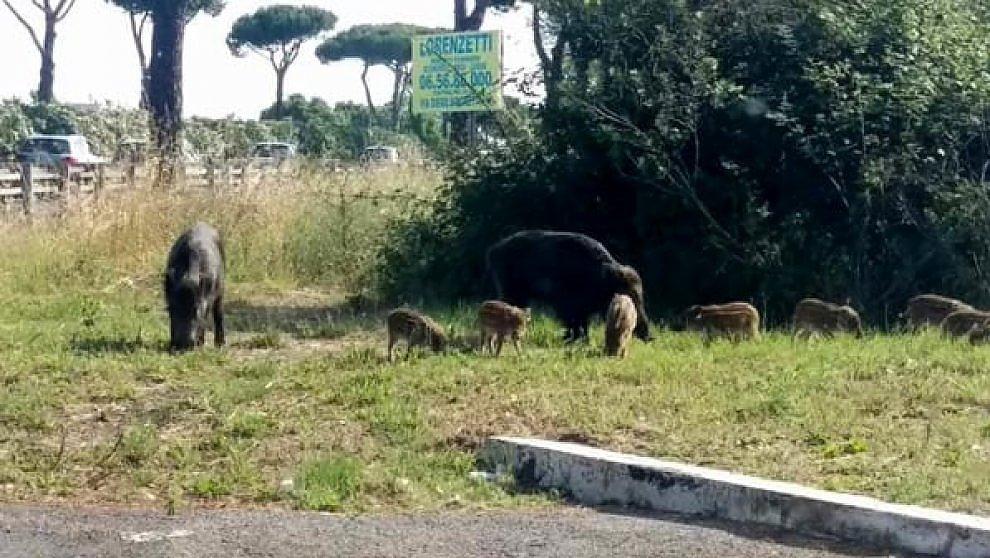 Roma, nove cinghiali sulla Cristoforo Colombo