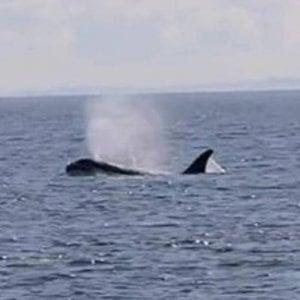 Roma, pinna emerge dall'acqua: avvistata orca tra Ponza e Gaeta