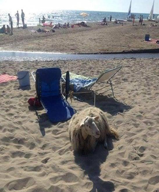 Torvaianica, porta la pecora in spiaggia. I vigili lo multano