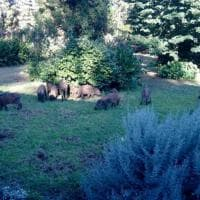 Roma, si ritrova i cinghiali in giardino all'Olgiata