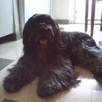 Roma, ritrovato Waus, il cane schapendoes olandese rubato insieme a un camper
