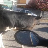 Roma, a Casalotti le mucche pascolano per il quartiere