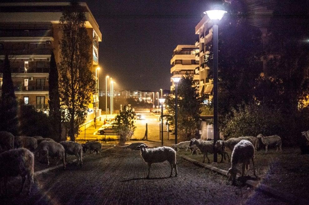 Roma, tra i palazzi di Ponte di Nona spunta un gregge di pecore