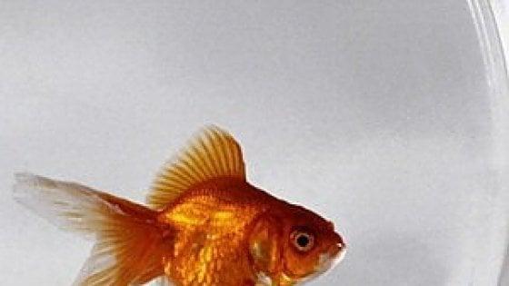 Roma pesci rossi per testare finestra multato esercente for Dove comprare pesci rossi