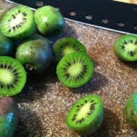 Latina, troppa acqua per  coltivare i kiwi: terreno in pericolo.