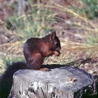 Fregene, nella pineta monumentale ricompaiono gli scoiattoli