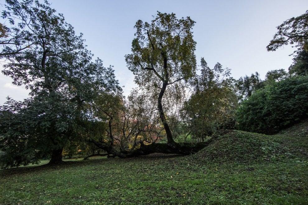 Roma, Orto botanico: il noce crollato che vive da sdraiato