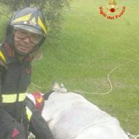 Formia, mucca nel dirupo: salvata dai vigili del fuoco