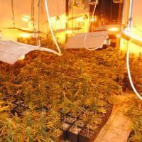 Roma, una villa ai Castelli trasformata in una serra di marijuana
