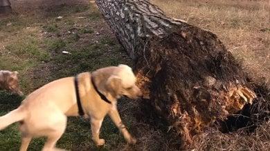 Paura a Villa Paganini, cade albero secolare