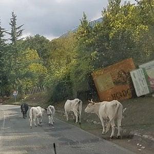 """Carpineto, il sindaco: """"Ora licenza di uccidere i bovini inselvatichiti"""""""