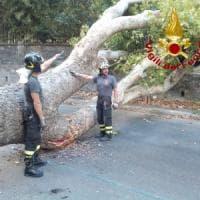 Roma, crolla un altro albero a Trastevere