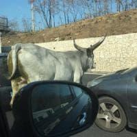 Roma, 10 chilometri di fila in autostrada: un toro in corsa sull'A1 manda