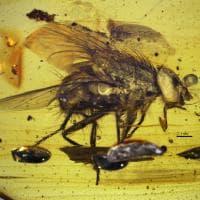 Mosca di 17 milioni di anni scoperta nell'ambra da ricercatore romano