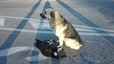 """Tuscolana, cane viene investito per strada ma l'amico lo veglia per ore  foto       Il testimone:  """"Erano inseparabili""""    di PAOLO DI PAOLO E FLAMINIA SAVELLI"""