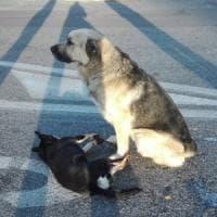 Roma, cane veglia amico investito, il testimone: