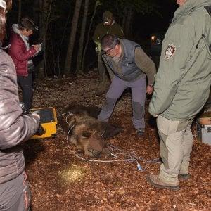 Frosinone, era finita nella trappola dei bracconieri: orsa liberata dai guardiaparco