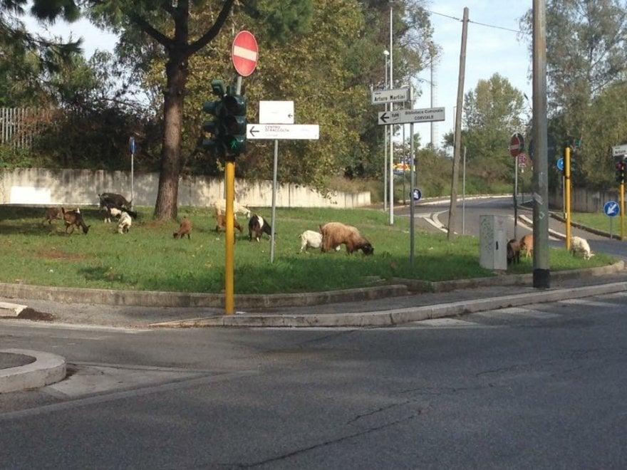 Roma, sorpresa nell'aiuola: c'è un gruppo di capre