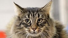 Campioni e trovatelli  800 gatti in mostra  video